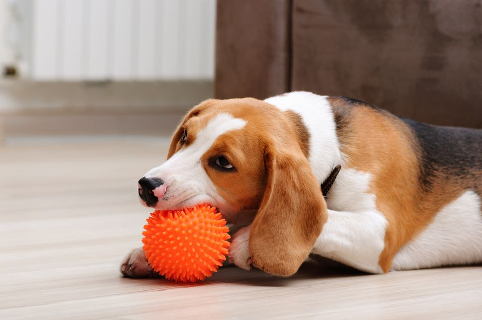 Beagle playing with an orange spikey ball toy