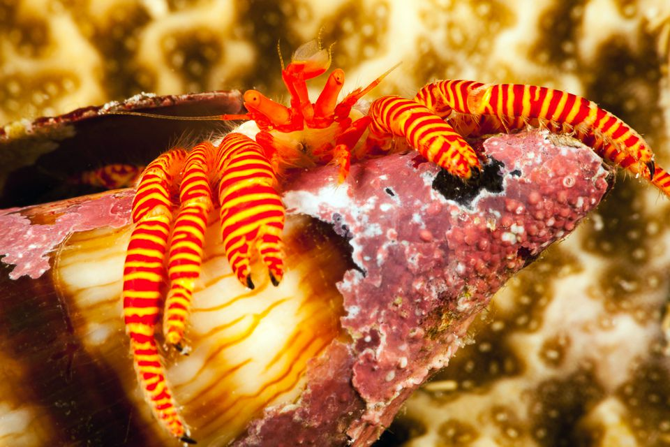 The Halloween hermit crab, also known as the cone shell hermit crab, makes an excellent reef-safe sand sifter