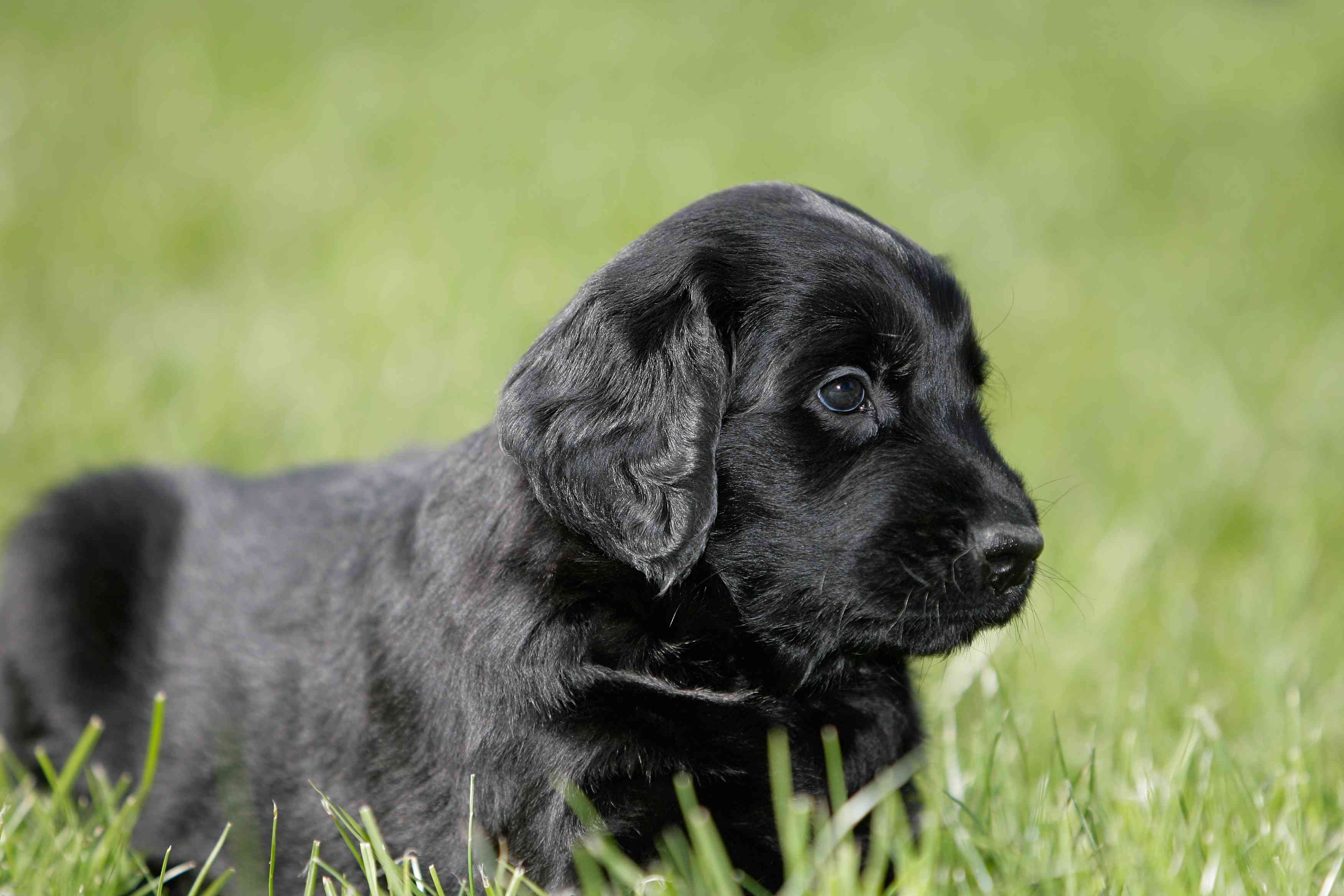 Black Flat-Coated Retriever puppy in grass.