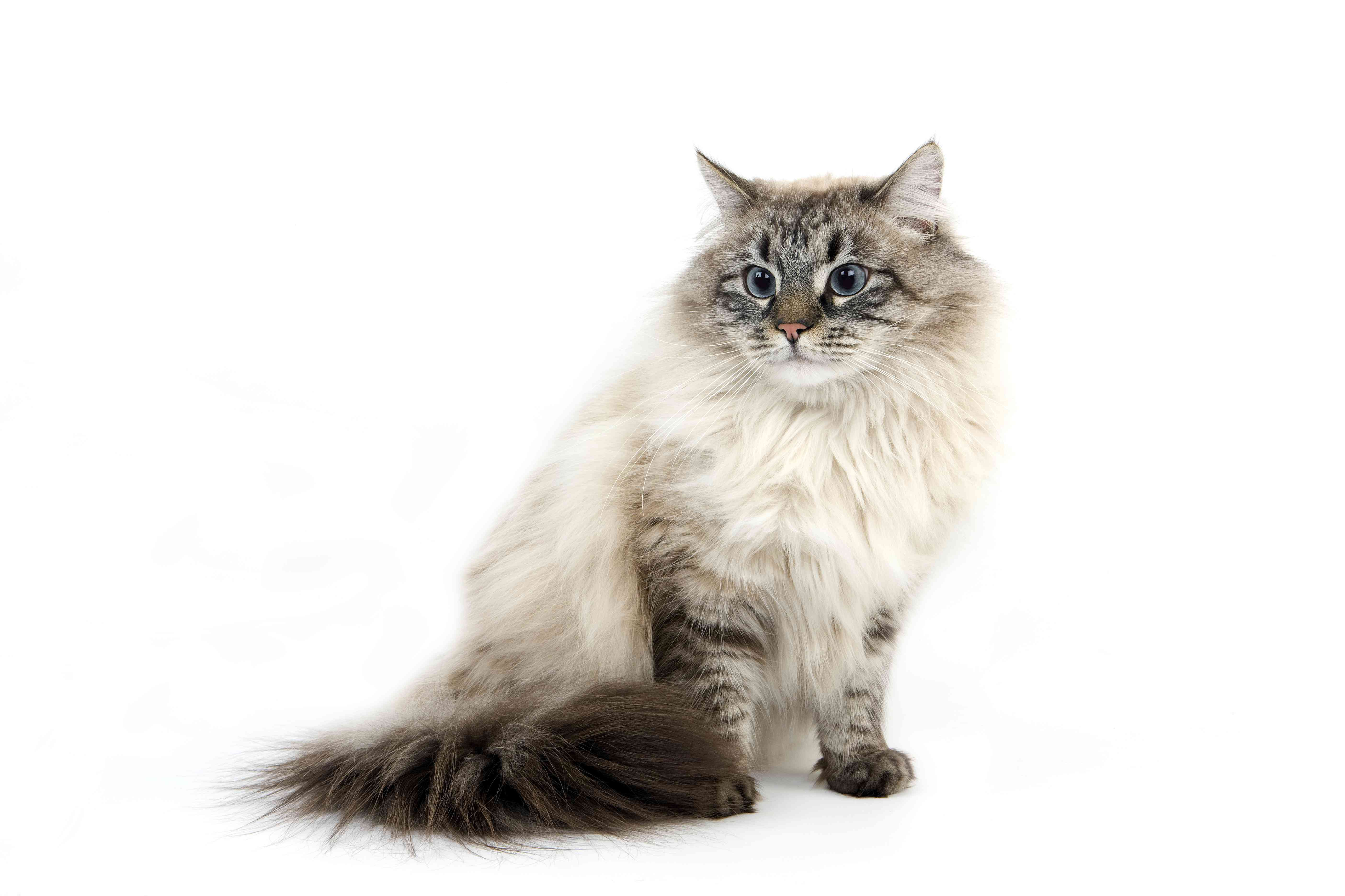 Seal Tabby Point Neva Masquerade Siberian Domestic Cat, Male sitting against White Background