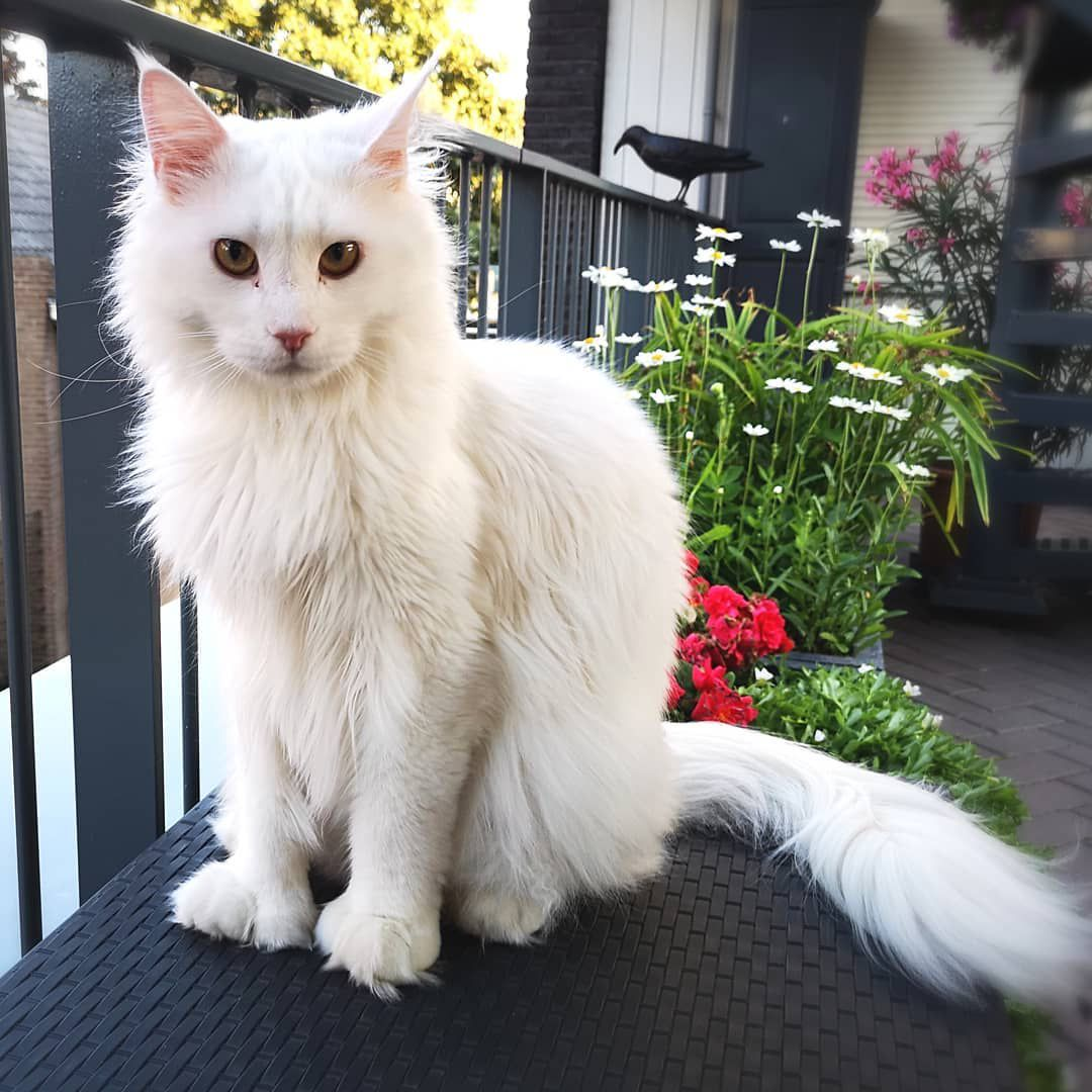 A white, polydactyl Maine Coon sitting outside.