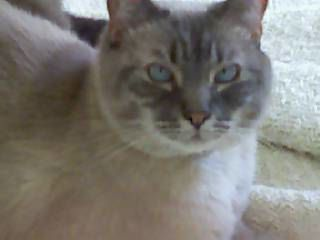 Picture of Jupiter, a Siamese Cat