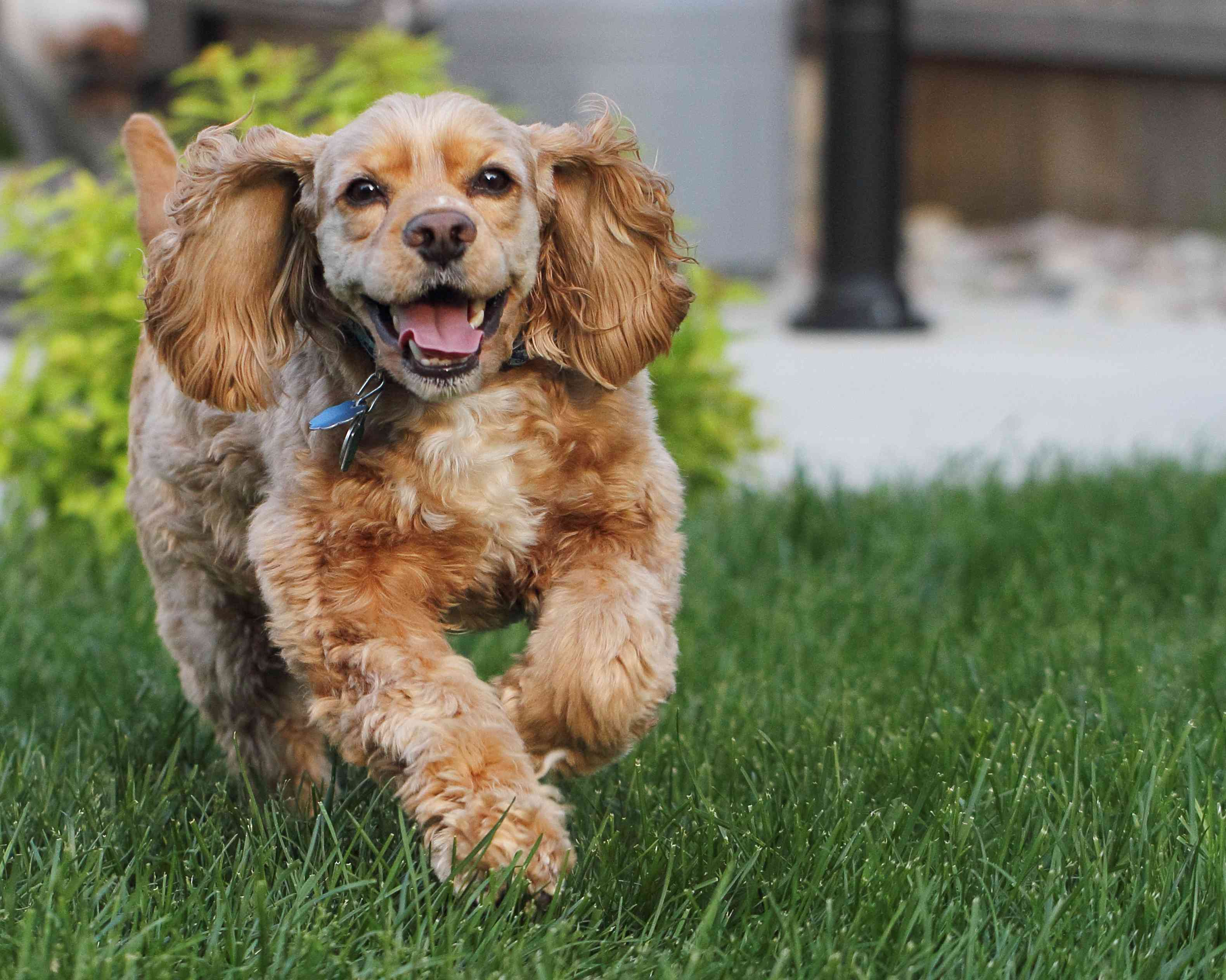 Smiling American Cocker Spaniel running in the grass.