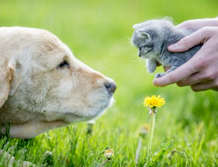 Dog looking at cat in hands