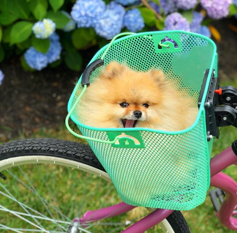 Perry en una canasta en bicicleta