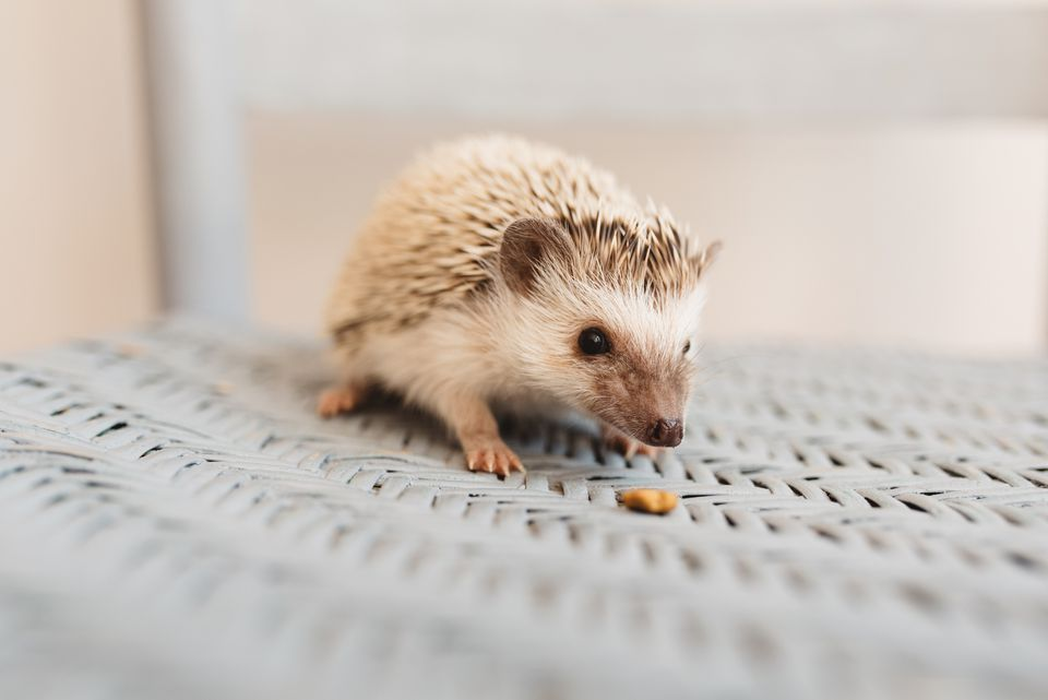 Young hedgehog on gray wicker chair with food pebble in front