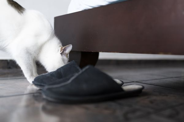 cat smelling shoes