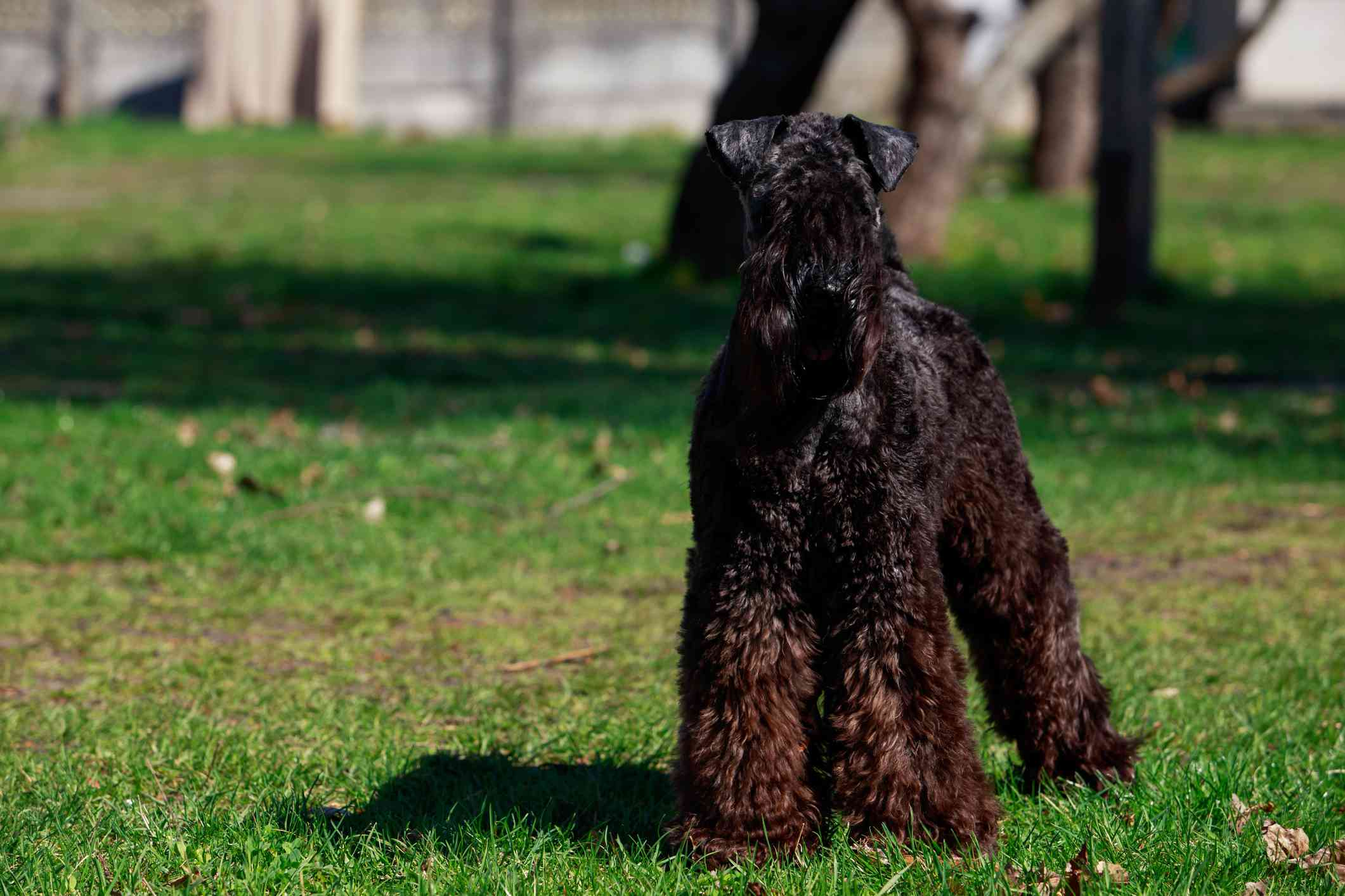 Kerry blue terrier with black and brown coat