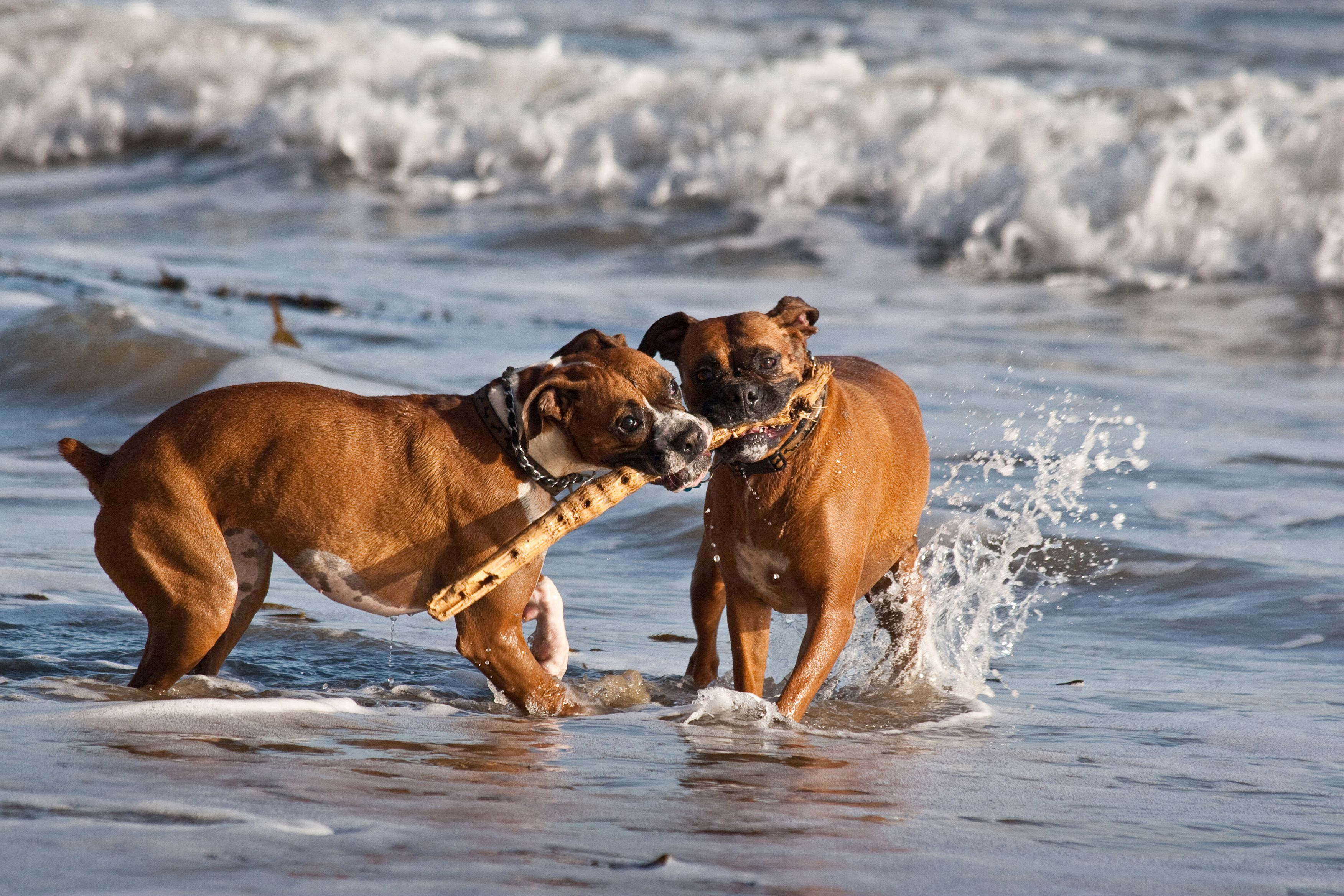 Boxers playing at the beach