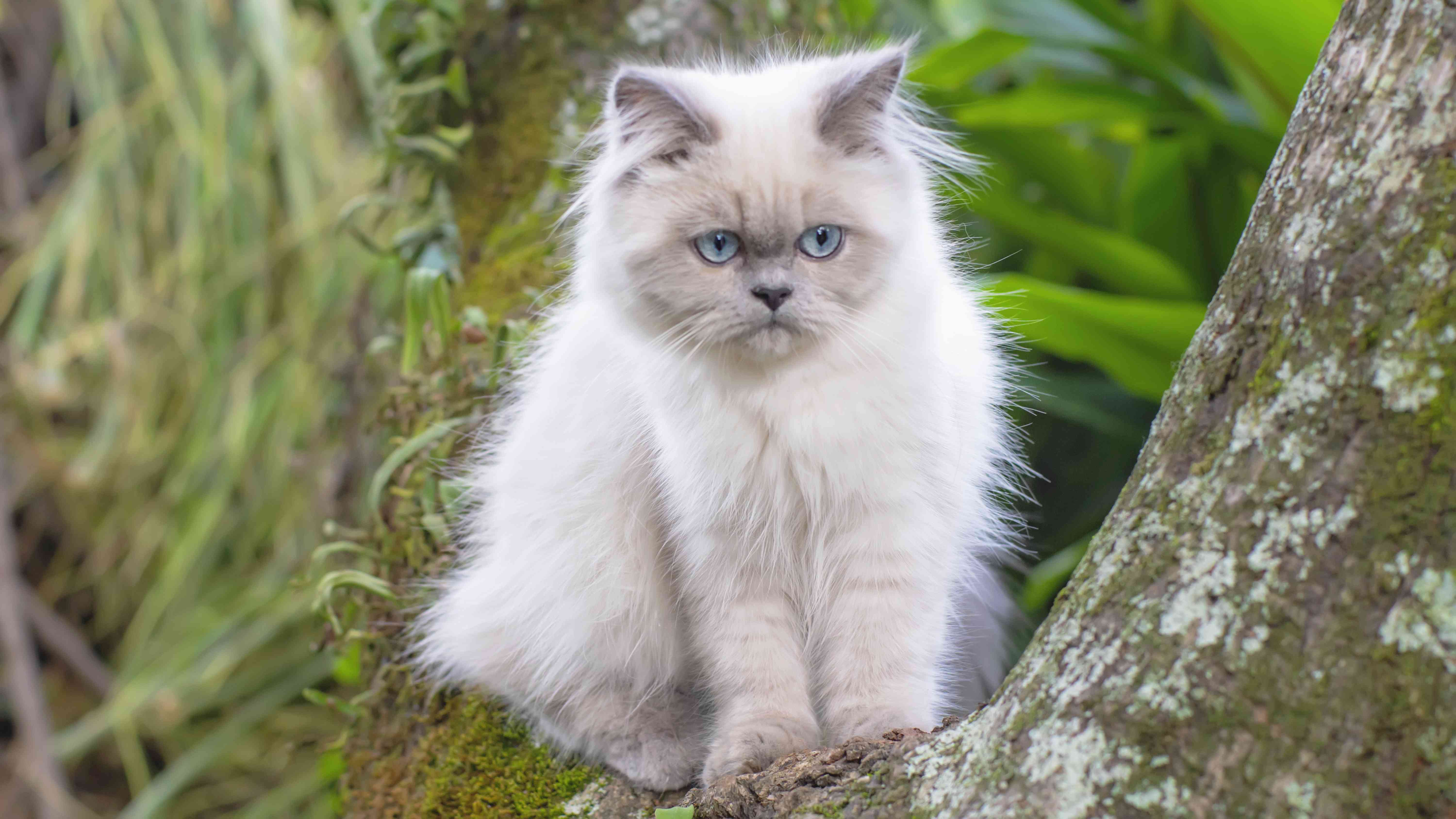 Portrait of Himalayan Young Cat sitting on a Tree