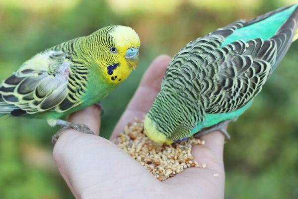 feeding budgerigars