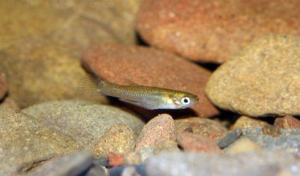 Eastern mosquitofish (Gambusia holbrooki).