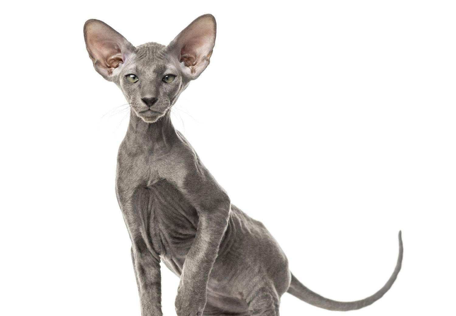 Peterbald Cat—Full Profile, History, and Care