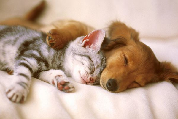 A kitten and puppy taking a nap together.