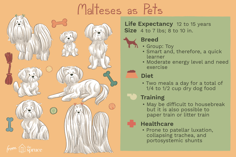 malteses as pets illustration
