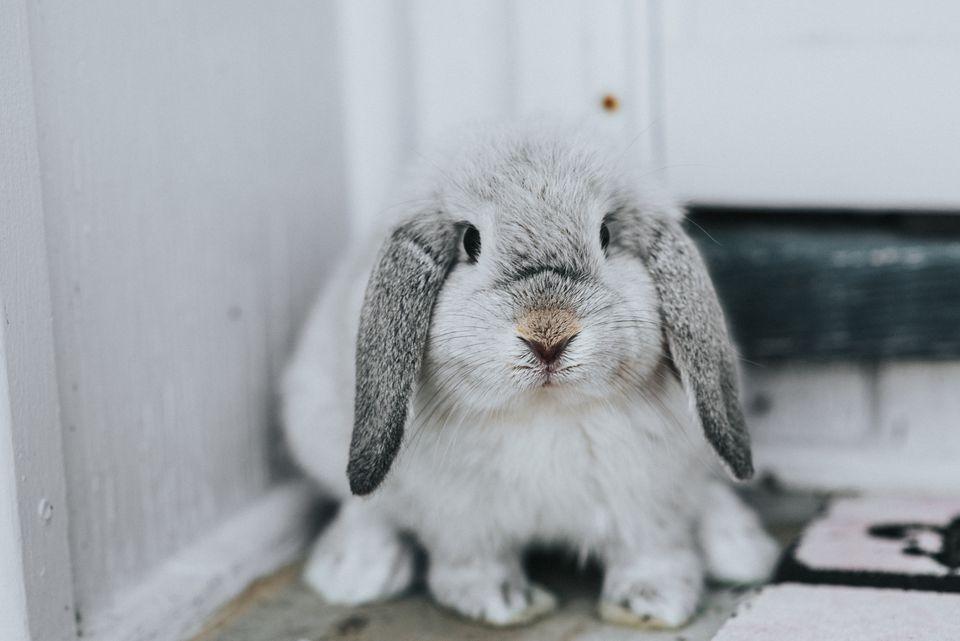conejo mascota enferma