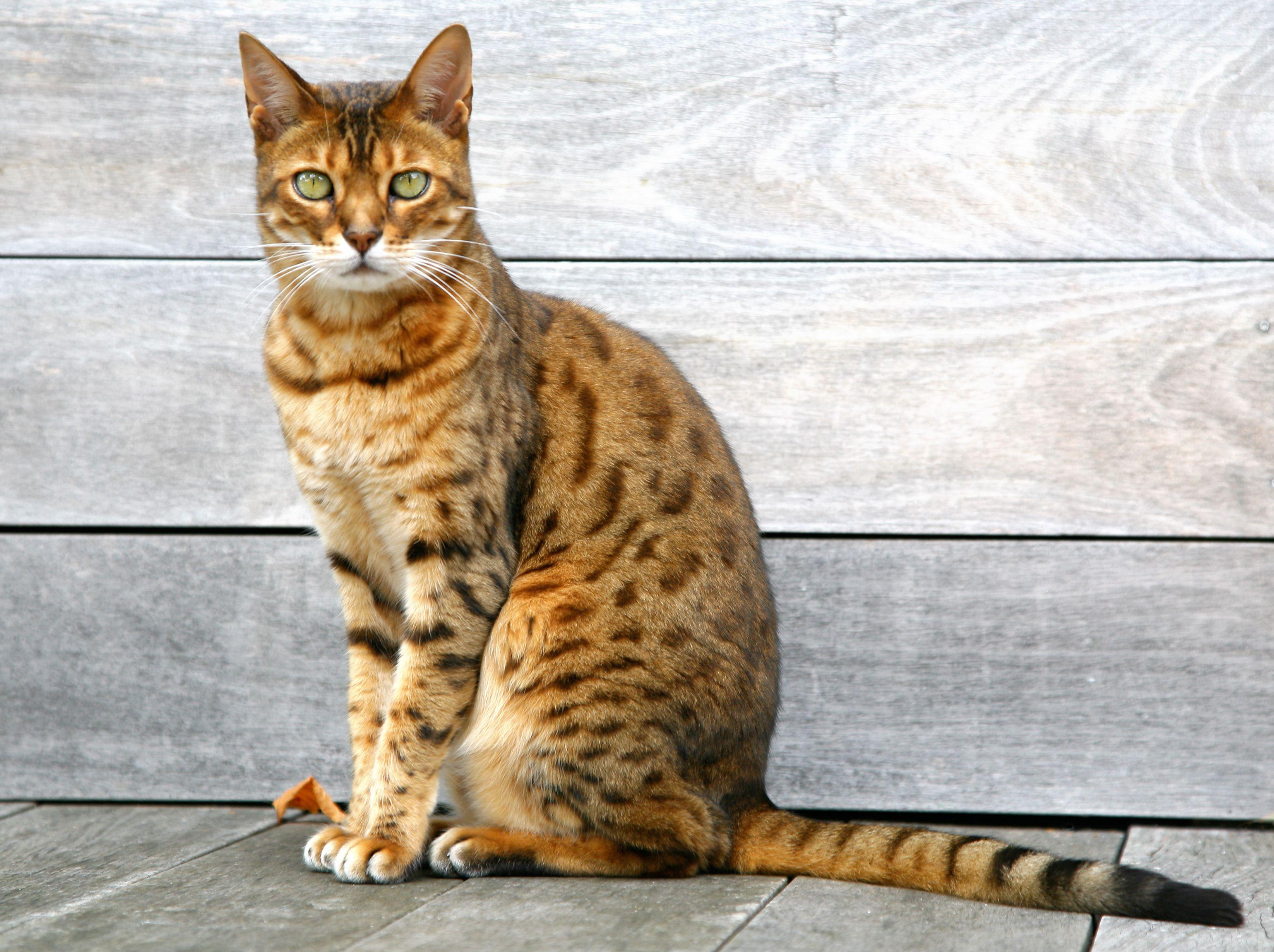 Bengal cat sitting upright
