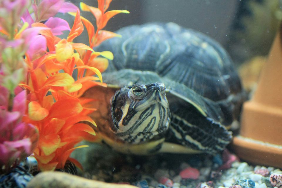 Close-Up Of Turtle In Tank