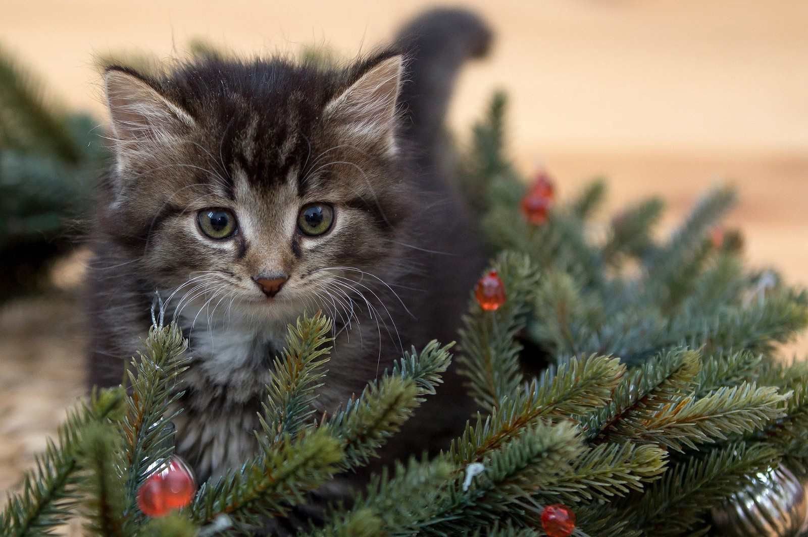 A kitten in Christmas tree branches