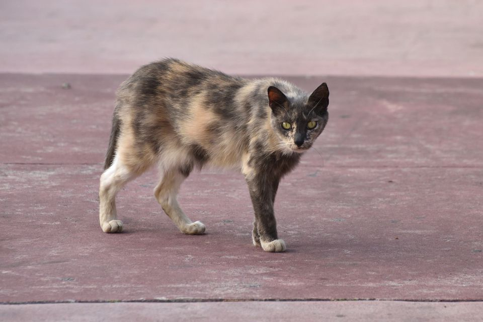 Skinny cat walking on concrete