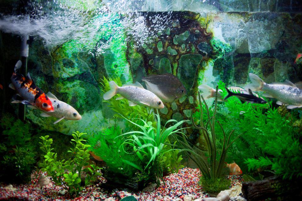 Fish in a row in aquarium