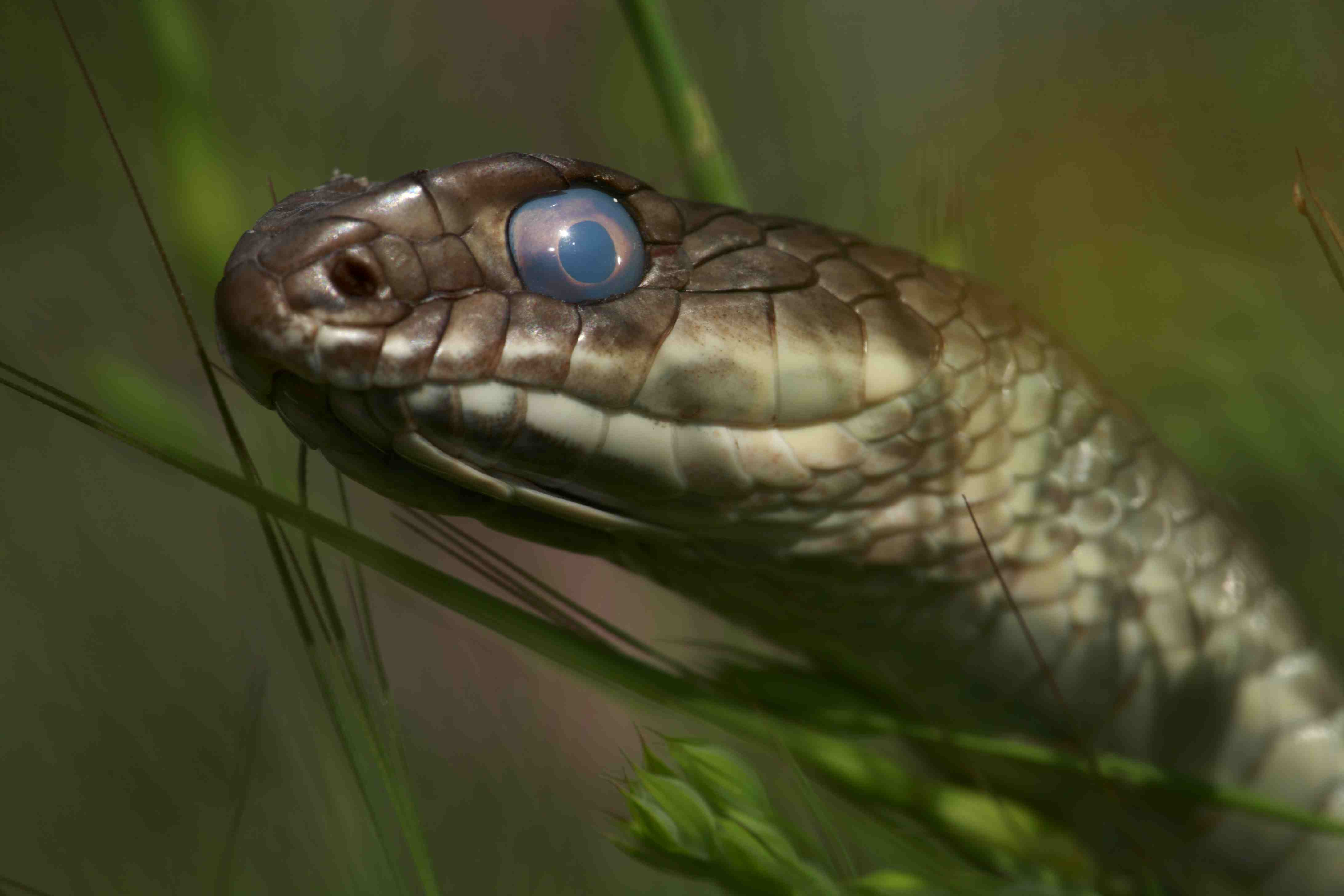 Montpellier snake (Malpolon monspessulanus) shortly before shedding its skin, The Peloponnese, Greece, May 2009