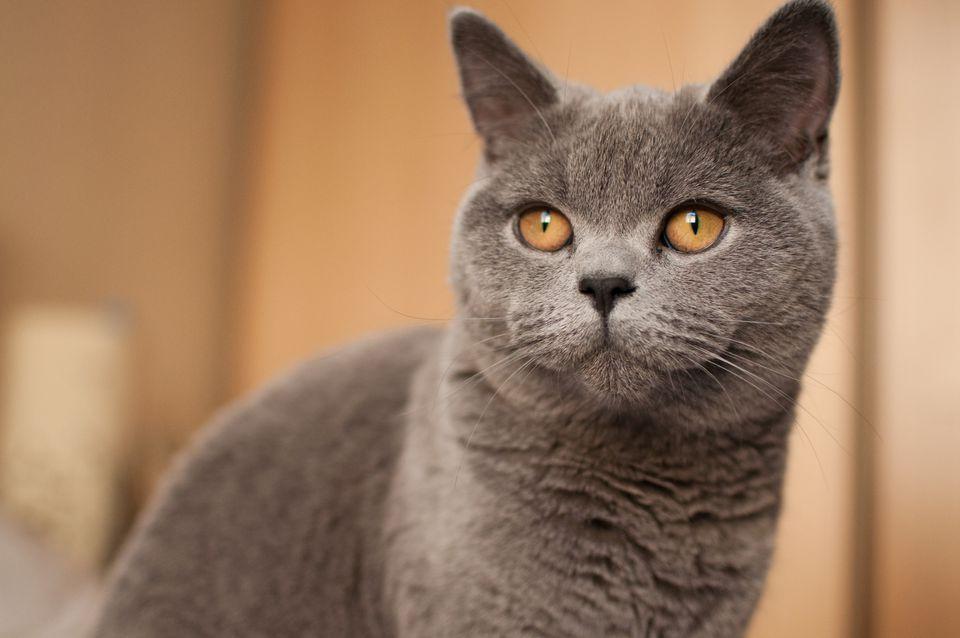 Gato gris con ojos dorados mira a la cámara; Pelo corto británico
