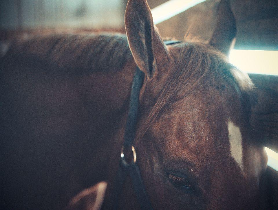 Vista de la cabeza de caballo, ojos y orejas.
