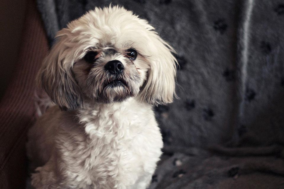 Lhasa apso sitting on chair, portrait