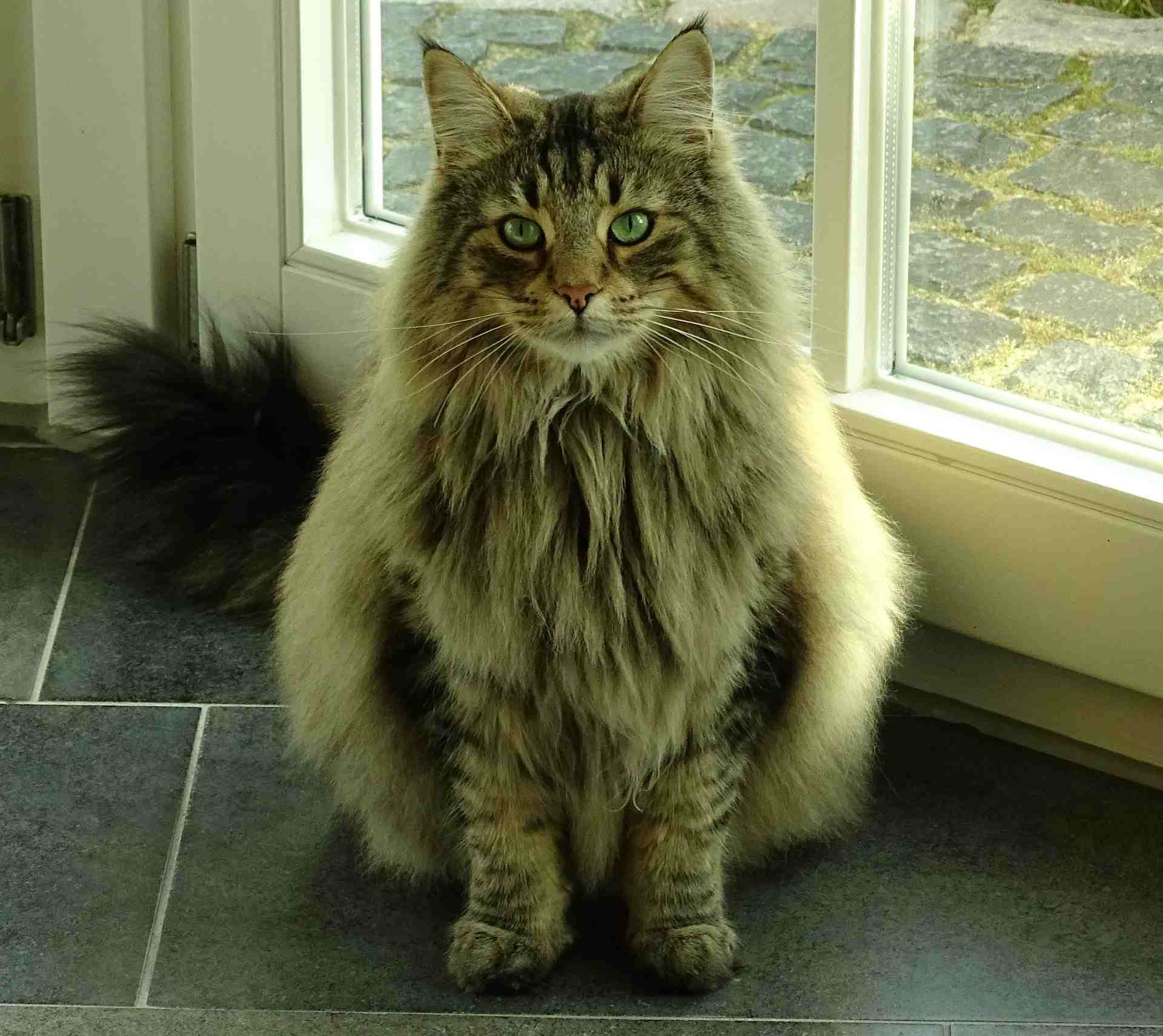 A Norwegian Forest cat with a thick coat.