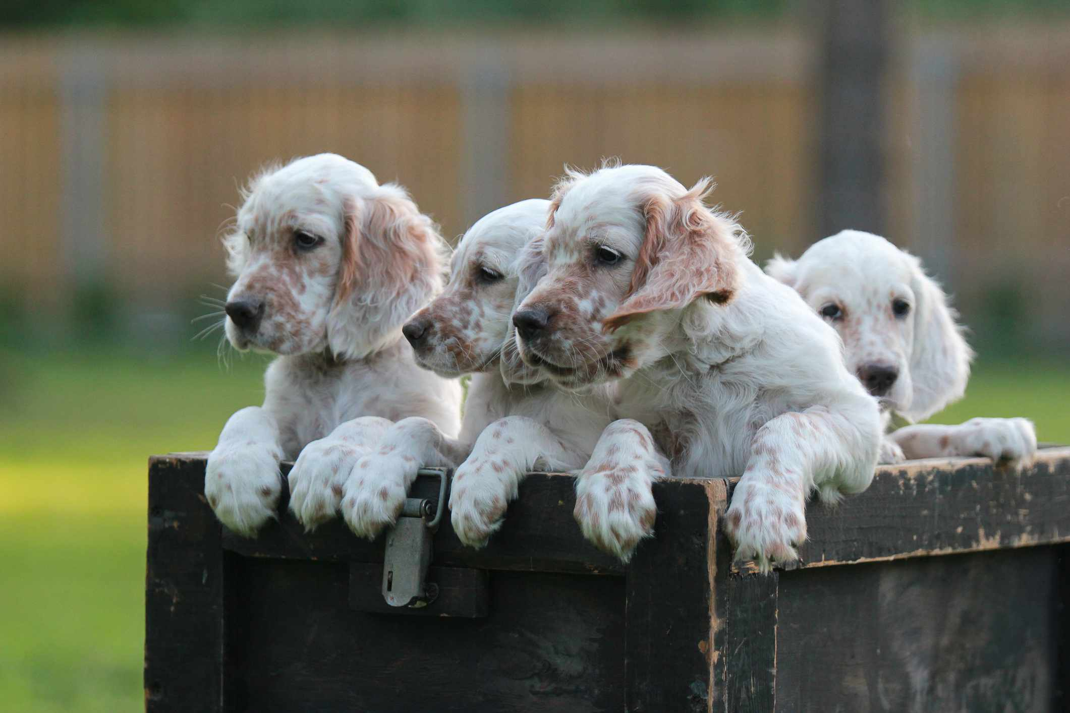 Four English Setter Puppies in a box