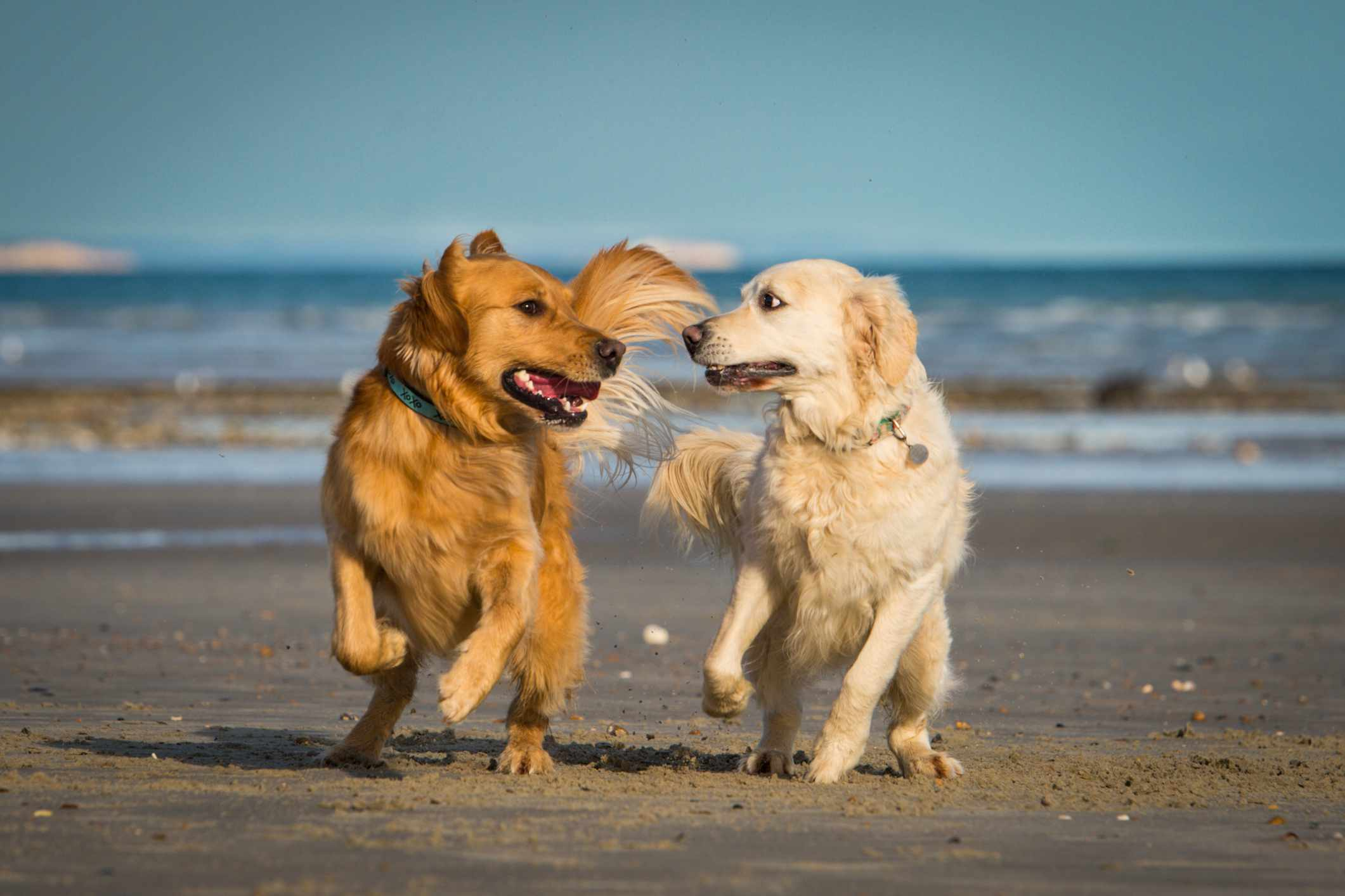 Two golden retrievers playing together on the beach.