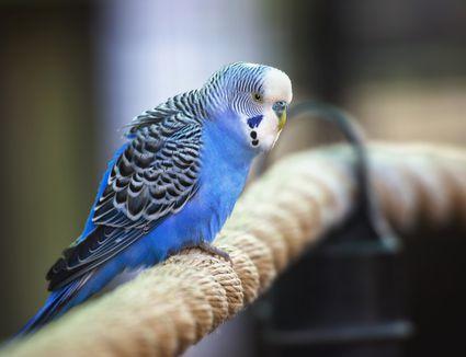 Parakeet Budgie Budgerigar