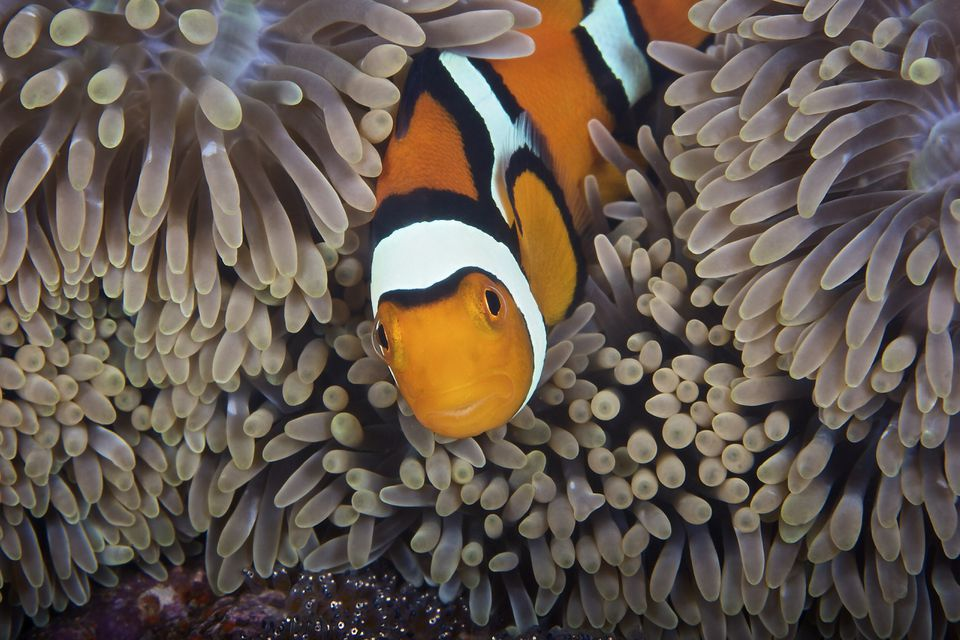 A female clownfish looks after her eggs at the edge of the host anemone, Papua New Guinea.