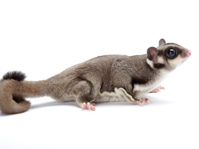 essential facts about pet sugar gliders
