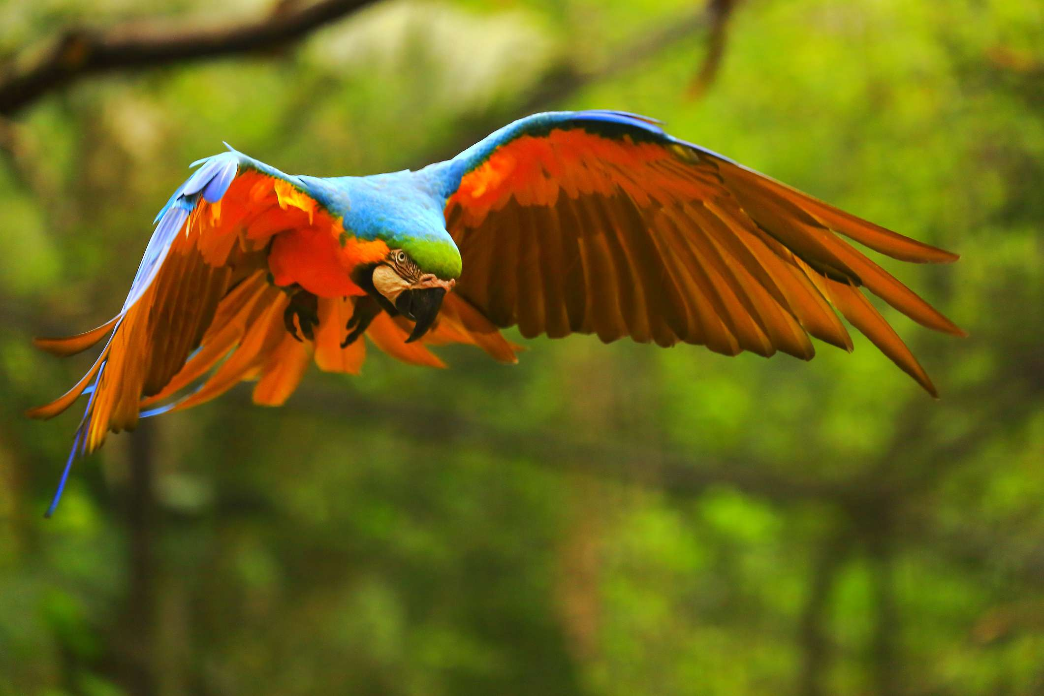 Blue and gold macaw in flight.