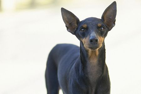 Miniature Pinscher Dog Breed Profile