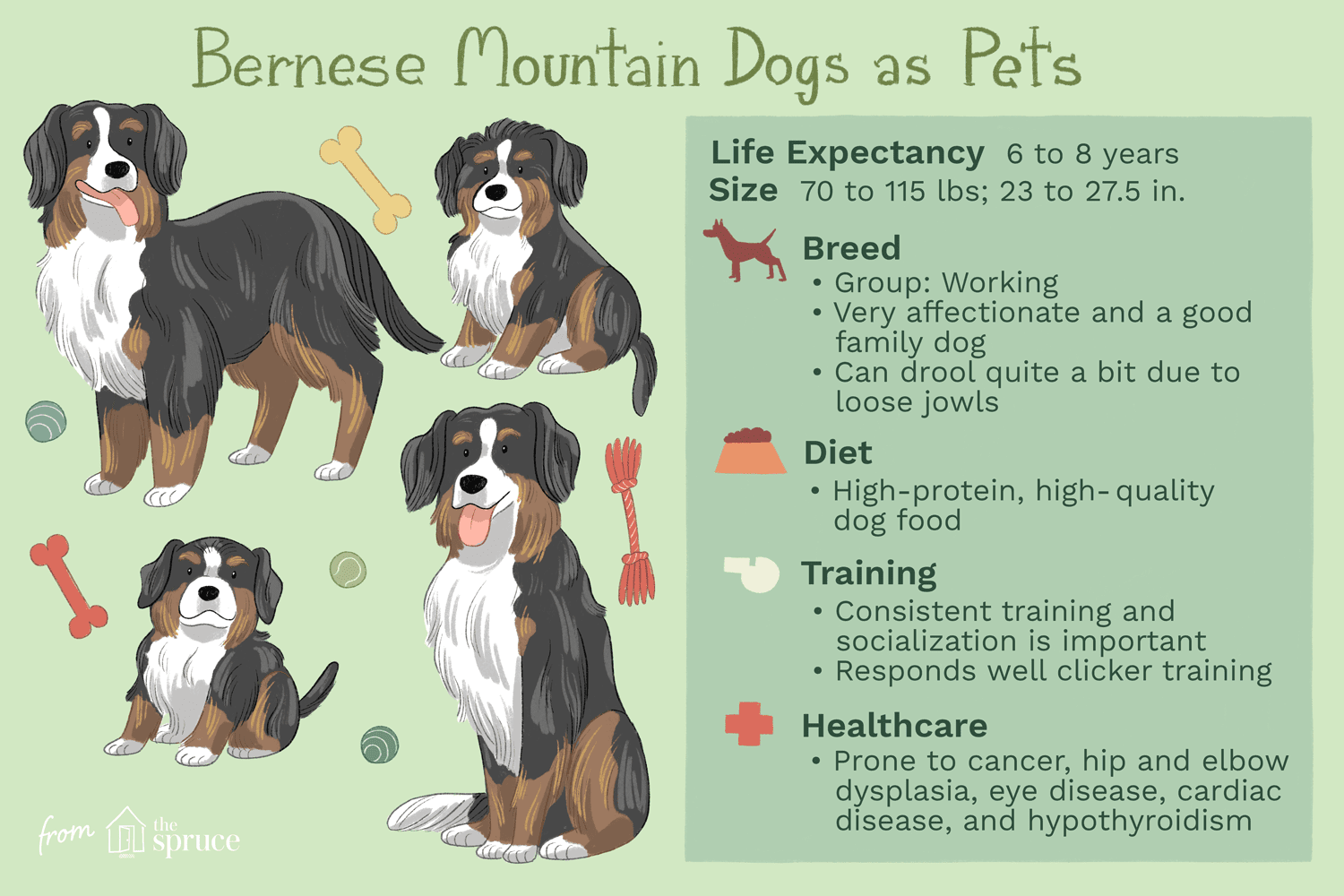 Bernese Mountain Dog Full Profile History And Care