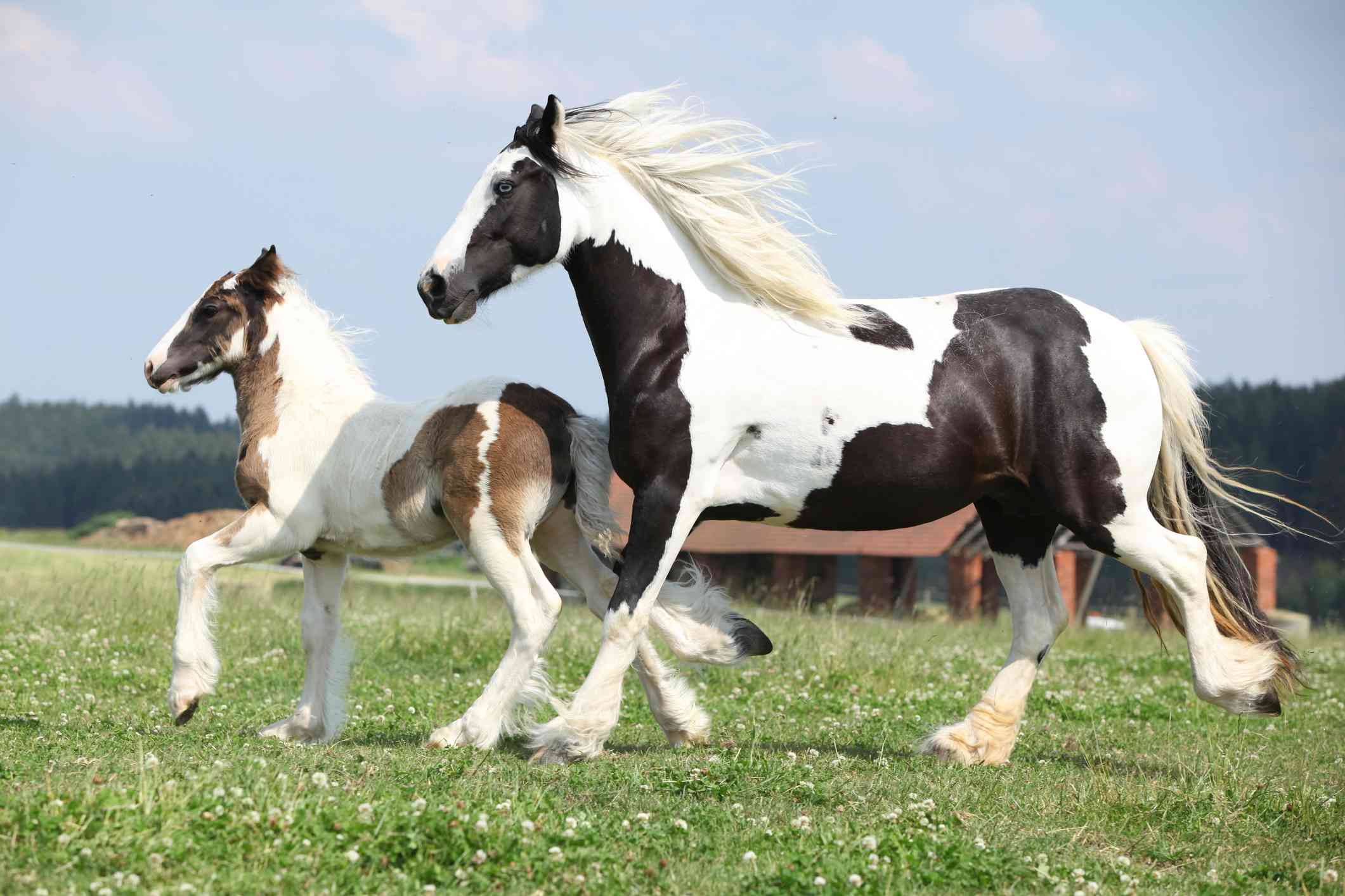 Gypsy Vanner mare and foal trotting in the pasture.