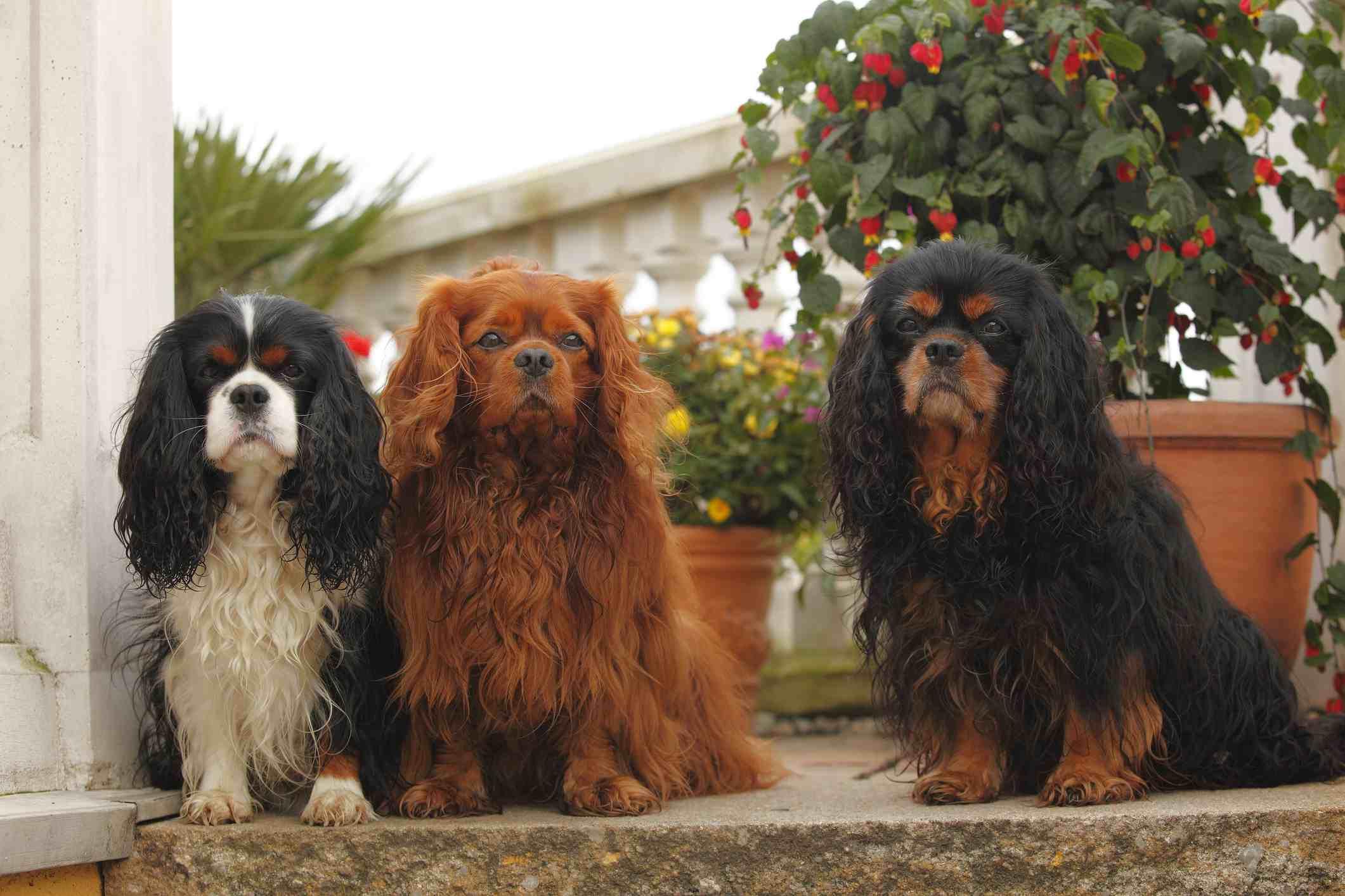 3 Cavalier King Charles Spaniels