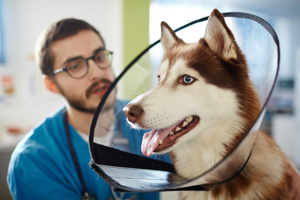 Dog wearing protective collar at the vet