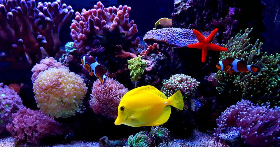 Zebrasoma Yellow Tang in saltwater reef aquarium tank