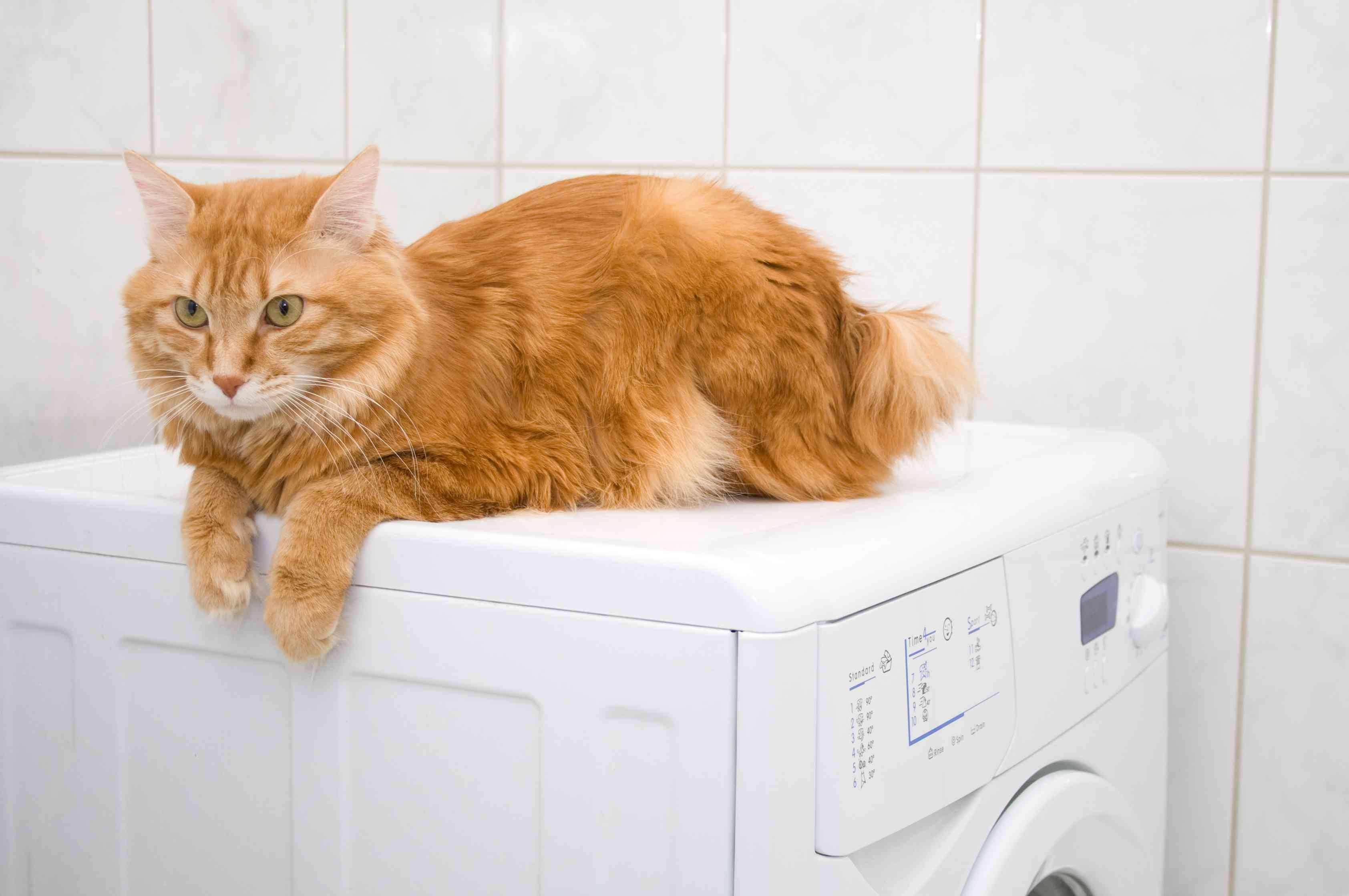 An orange cat with a short, bobbed tail laying on a washing machine.