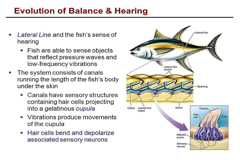 How do Fish Swim, Balance, how much Oxygen and Food do they need?