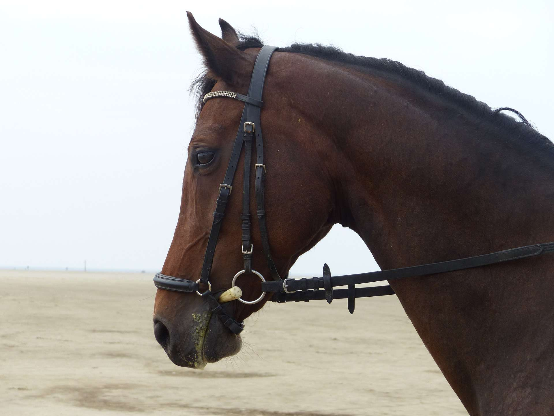 An English bridle on a horse.