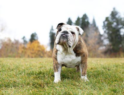 An English bulldog outdoors.