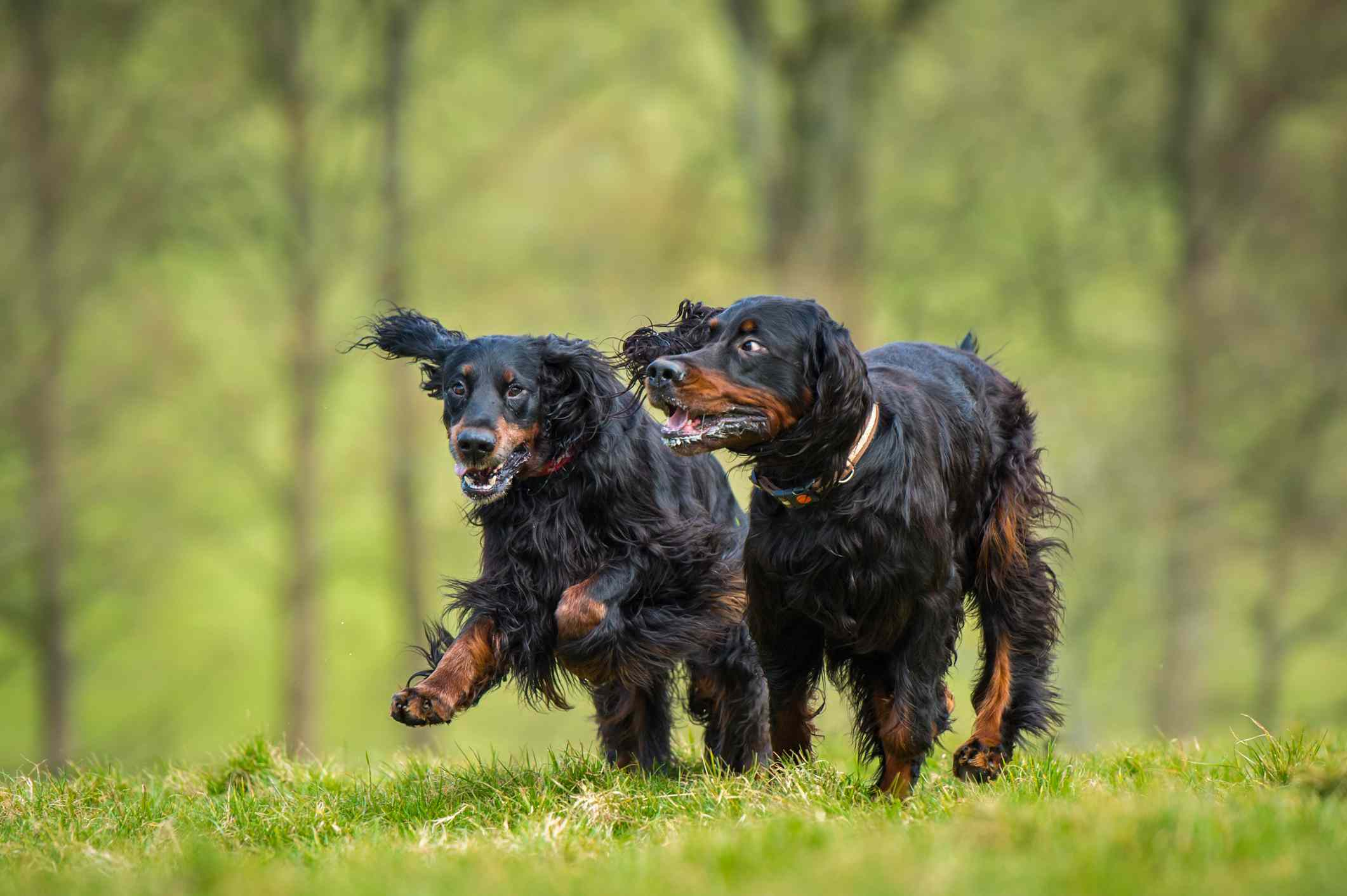 Two Gordon Setters running