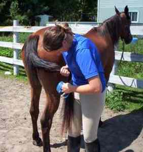 A woman combing a horse's tail.