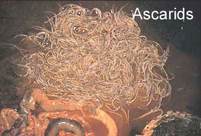 Equine Ascarid parasites
