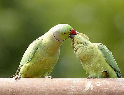 Mating Ritual of Rose-Ringed Parakeets Psittacula Krameri, Ranthambore Tiger Reserve National Park